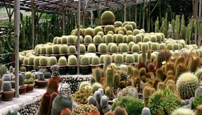 Cactus - Cameron Highlands - Pahang Tourist Attractions