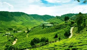 Tea Estate - Cameron Highlands - Pahang Tourist Attractions