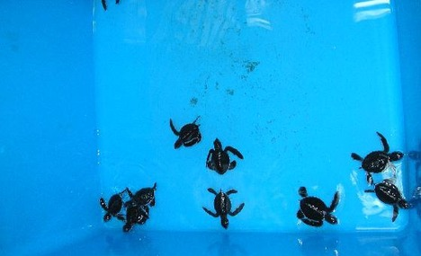 Turtle Sanctuary Cherating Kuantan - Pahang Tourist Attractions
